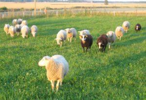 Avvanda lamm