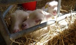 I lammkammaren får vi lugn och ro